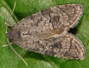 Cnephasia ecullyana 06 2