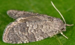 Cnephasia ecullyana 06 3