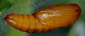 Cnephasia ecullyana chrysalide 06 2