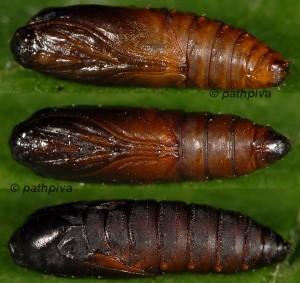 Cnephasia genitalana chrysalide 38 1