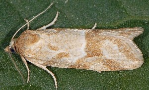 Cnephasia longana 5