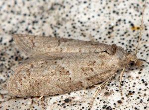 Cnephasia-pasiuana-13-1