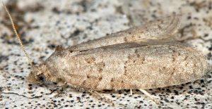 Cnephasia-pasiuana-13-2
