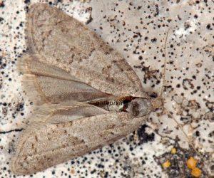 Cnephasia-pasiuana-13-3