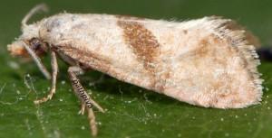Cochylidia implicitana 34 1