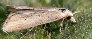 Cochylimorpha decolorella 2B 1