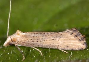 Cochylimorpha decolorella 2B 2