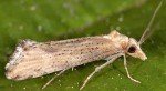 Cochylimorpha decolorella 2B 3