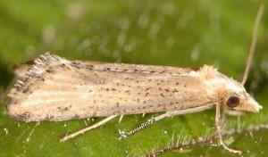 Cochylimorpha decolorella 2B 4