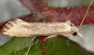 Cochylimorpha decolorella 2B 5