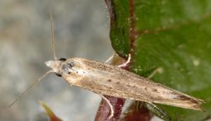 Cochylimorpha decolorella 2B 6