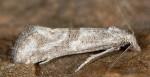 Cochylimorpha elongana 1