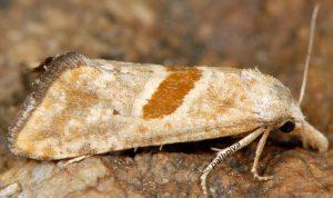Cochylimorpha erlebachi 06 1