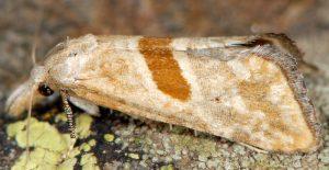 Cochylimorpha erlebachi 06 3