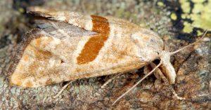 Cochylimorpha erlebachi