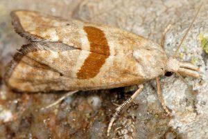 Cochylimorpha erlebachi 06 5