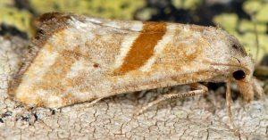 Cochylimorpha erlebachi 06 6