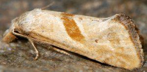 Cochylimorpha erlebachi 06 7