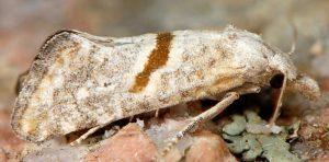 Cochylimorpha halophilana