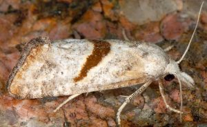 Cochylimorpha halophilana 13 6