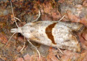 Cochylimorpha halophilana 13 7
