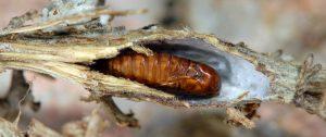 Cochylimorpha halophilana chrysalide 13 1