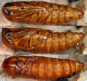 Cochylimorpha halophilana chrysalide 13 2