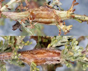 Cochylimorpha halophilana galle 13 1