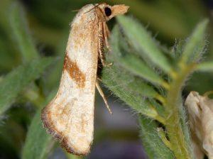 Cochylimorpha-hilarana-06-1