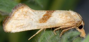 Cochylimorpha-hilarana-06-2