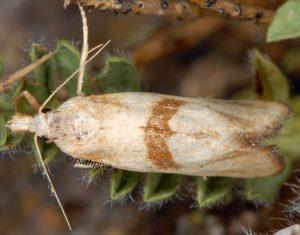 Cochylimorpha-hilarana-06-3