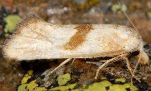 Cochylimorpha-hilarana-06-4