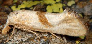Cochylimorpha-hilarana-06-5