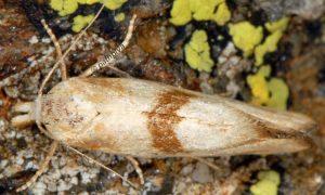 Cochylimorpha-hilarana-06-6