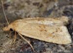 Cochylimorpha meridiana 34 2