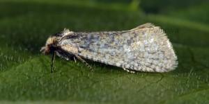 Cochylimorpha perfusana