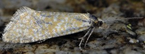 Cochylimorpha tiraculana 06 3
