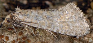 Cochylimorpha tiraculana 1