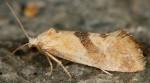 Cochylis flaviciliana 06
