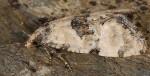 Cochylis pallidana 1