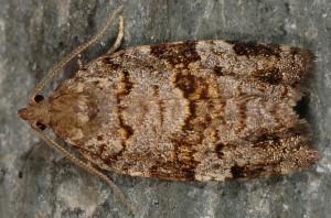 Dichelia histrionana 06 3