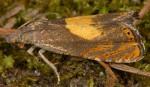 Dichrorampha alpinana 38 1