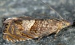 Dichrorampha distinctana 06 1