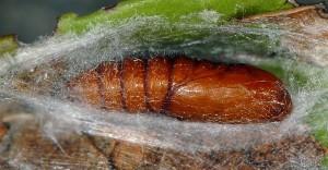 Ditula angustiorana chrysalide 06 1