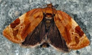 Ditula angustiorana femelle 06 3