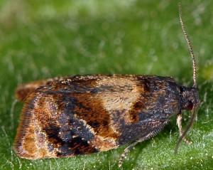 Ditula angustiorana mâle 06 1