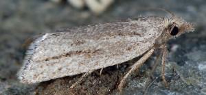 Ditula joannisiana femelle 34 1