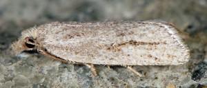 Ditula joannisiana femelle 34 2