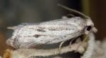 Ditula joannisiana mâle 06 3