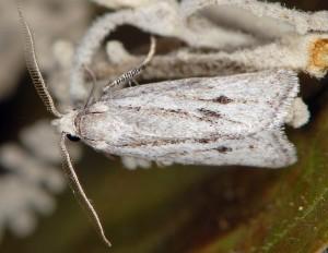 Ditula joannisiana mâle 34 1